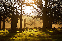 © Licensed to London News Pictures. 23/12/2015. London, UK. Deer graze in early morning sunshine in Richmond Park.  Photo credit: Peter Macdiarmid/LNP