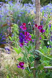 Lathyrus odoratus 'Matucana' in the cutting garden. Sweet pea