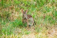Eastern cottontail rabbit in the early evening in the Charlotte Harbor area near Alligator Creek. This is Florida's most common rabbit.