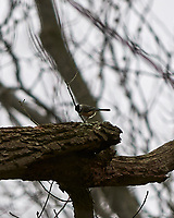 Black-capped Chickadee (Poecile atricapillus). Image taken with a Nikon D300 camera and 70-200 mm f/2.8 VR lens.