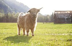 THEMENBILD - ein Schottisches Hochlandrind auf einer Weide, aufgenommen am 22. April 2018, Kaprun, Österreich // Scottish Highland cattle on 2018/04/22, Ort, Austria. EXPA Pictures © 2018, PhotoCredit: EXPA/ Stefanie Oberhauser