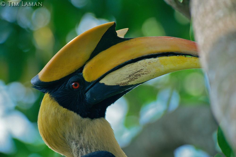 Portrait of Great Hornbill (Buceros bicornis).Khao Yai National Park, Thailand