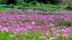 June 14, 2017 - Ji'An, Ji'an, China - Ji'an, CHINA-June 14 2017: (EDITORIAL USE ONLY. CHINA OUT)..Blooming flowers attract many visitors in Suichuan County, Ji'an, east China's Jiangxi Province, June 14th, 2017. (Credit Image: © SIPA Asia via ZUMA Wire)