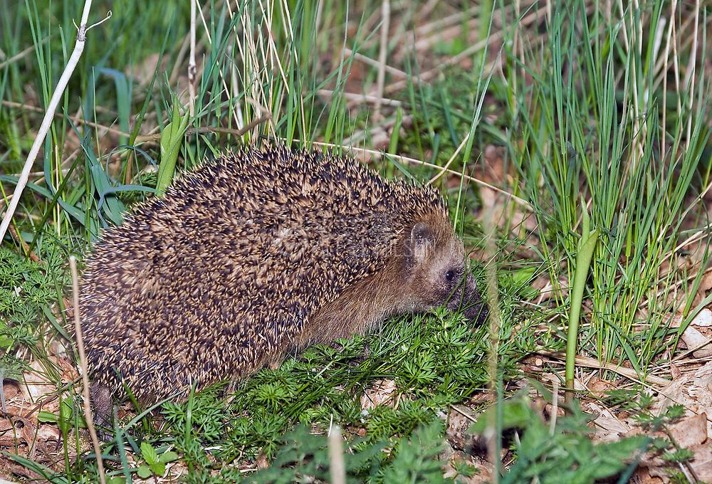 Western European Hedgehog (Erinaceus europaeu).