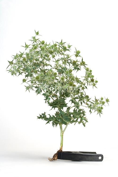 tree like thistle plant