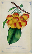 The Governor Wood cherry is a high quality sweet cherry with a golden yellow skin with red blush. The flesh is firm, but tender sweet and richly flavored with high aroma. The Governor Wood cherry tree produces firm, meaty cherry that resists cracking in spring rains. from Dewey's Pocket Series ' The nurseryman's pocket specimen book : colored from nature : fruits, flowers, ornamental trees, shrubs, roses, &c by Dewey, D. M. (Dellon Marcus), 1819-1889, publisher; Mason, S.F Published in Rochester, NY by D.M. Dewey in 1872