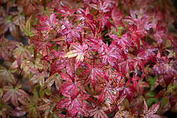 Acer palmatum 'Beni-maiko' AGM - Japanese maple
