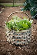 Freshly harvested veggies sitting in basket.