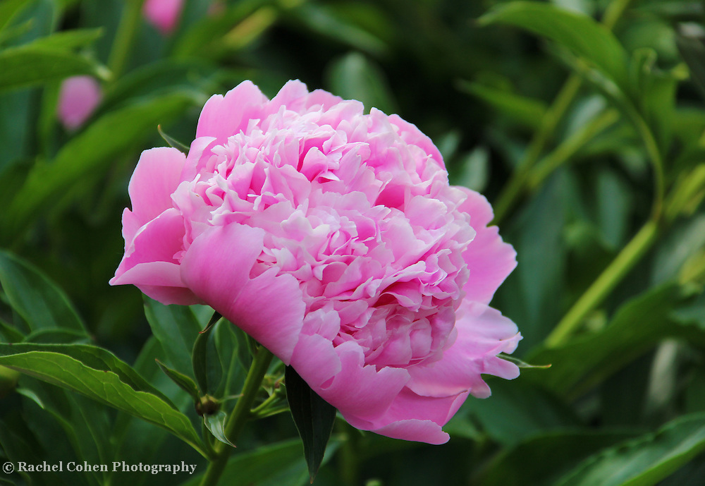 """""""Peony Delight""""<br /> <br /> Delightful light pink Peony blossom!!<br /> <br /> Flowers by Rachel Cohen"""