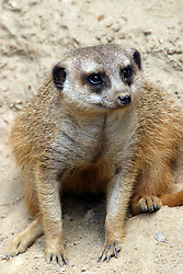 24 July 2005:   The meerkat or suricate is a small carnivoran belonging to the mongoose family. It is the only member of the genus Suricata.