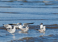 Laughing gulls, Larus atricilla, at the mouth of the Tarcoles River, Costa Rica