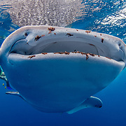Whale shark (Rhincodon typus) feeding on plankton on the surface with tourists, Honda Bay, Palawan, the Philppines.