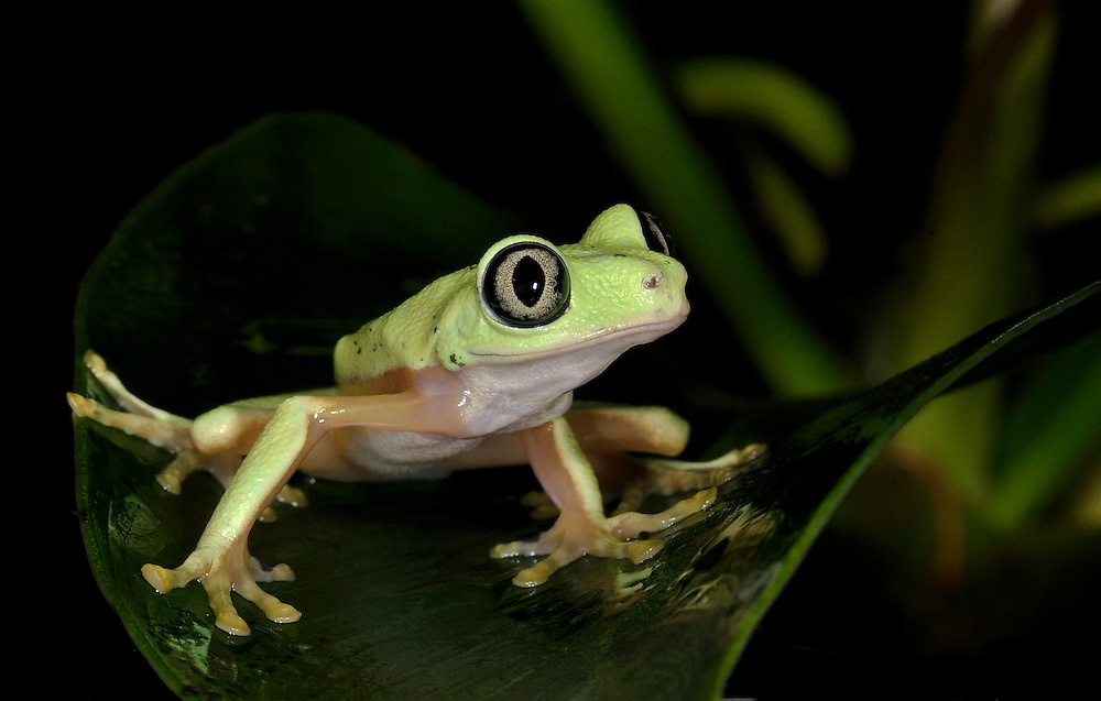 Hylomantis lemur - Lemur Leaf Frog