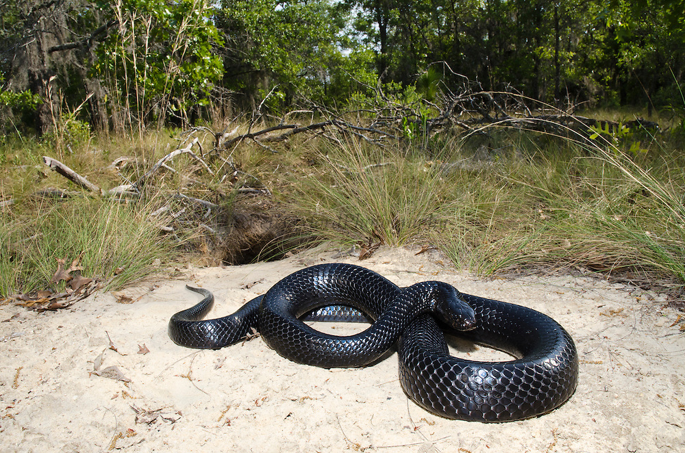 Eastern Indigo Snake (Drymarchon couperi) at Gopher Tortoise burrow<br /> CAPTIVE<br /> The Orianne Indigo Snake Preserve<br /> Telfair County, Georgia<br /> USA<br /> HABITAT & RANGE: Long leaf pine sandhills of central plains of Georgia, southern South Carolina south through Florida and west to Louisiana, Mississippi, and Alabama that are populated with Gopher Tortoises.<br /> Federally listed as THREATENED SPECIES