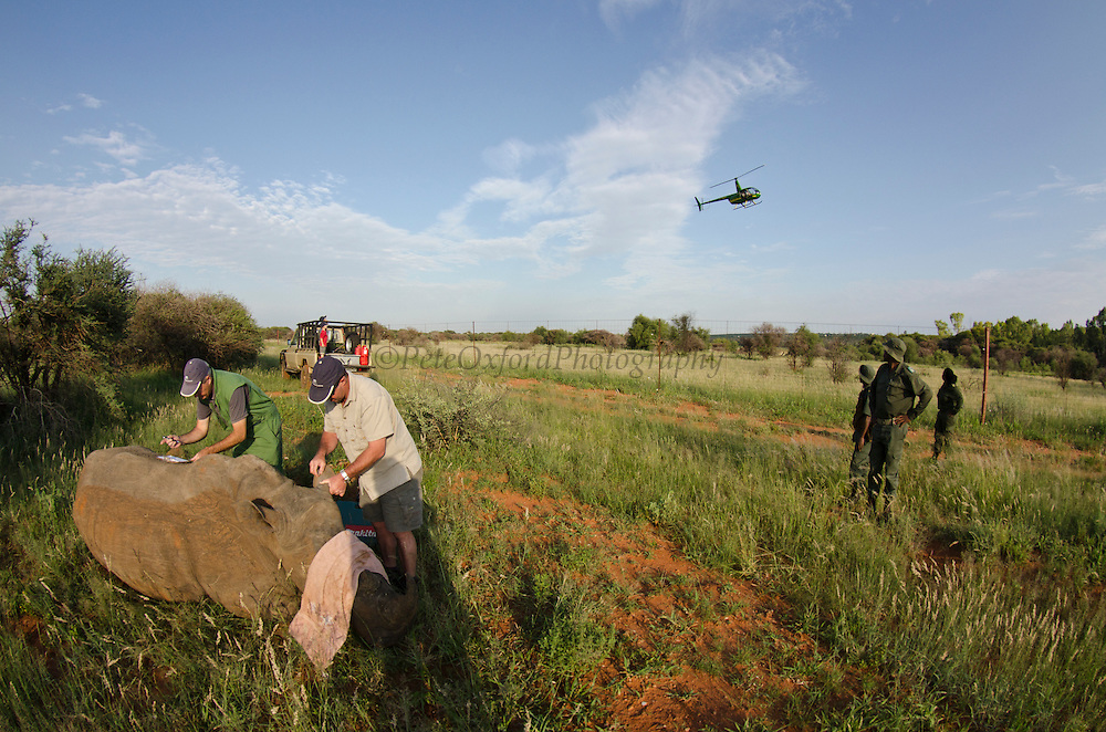 White Rhinoceros (Ceratotherium simum) immobilized for relocation. Conservation Solutions team Vet Andre Uys & Kester Vickery<br /> Private Game Reserve<br /> SOUTH AFRICA<br /> RANGE: Southern & East Africa<br /> ENDANGERED SPECIES