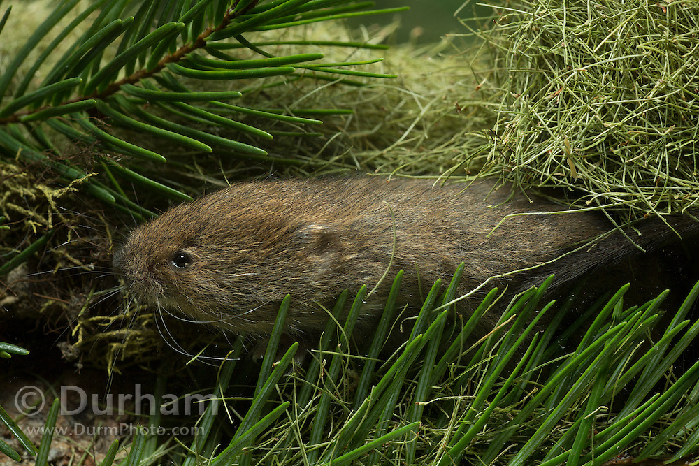 A young red tree vole (Arborimus longicaudus) travels through a passage in a nest made from the discarded resin ducts from Douglas-fir needles; a byproduct of their diet. Fresh, uneaten fir needles are also present. Red tree voles are nocturnal and live in Douglas fir tree-tops and almost never come to the forest floor.  They are one of the few animals that can persist on a diet of conifer needles which is their principle food.  As a defense mechanism, conifer trees have resin ducts in their needles that contain chemical compounds (terpenoids) that make them unpalatable to animals.  Tree voles, however, are able to strip away these resin ducts and eat the remaining portion of the conifer needle.