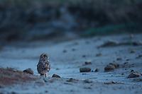 Short-eared Owl sitting on a dry stream, Bagerova Steppe, Kerch Peninsula, Crimea, Ukraine