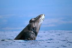 humpback whale newborn calf, breaching, Megaptera novaeangliae, Big Island, Hawaii, Pacific Ocean