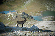 Chamois above Macun lakes, Engadin, Switzerland