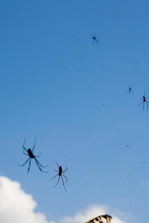 Acaiaca_MG, Brasil...Detalhe de aranhas em Acaiaca...Detail of spiders in Acaiaca...Foto: LEO DRUMOND / NITRO.