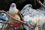 Red-footed booby (Sula sula) sitting on a branch, Tower Island, Galapagos Islands, Ecuador
