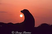 Galapagos sea lion at sunset, Zalophus wollebaeki, endemic and endangered species, Galapagos Islands, Ecuador ( E. Pacific )