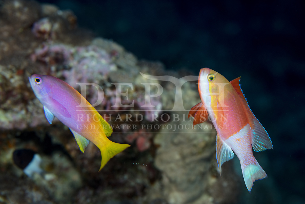 Pseudanthias pictilis (Painted anthias) female (left) and male at Vautoa Ono in the Lau Island Group of Fiji.<br /> Tuesday 15 August, 2017<br /> Photograph Richard Robinson © 2017