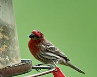 House Finch at the bird feeder. Image taken with a Nikon D5 camera and 600 mm f/4 VR lens (ISO 1100, 600 mm, f/5.6, 1/1250 sec).