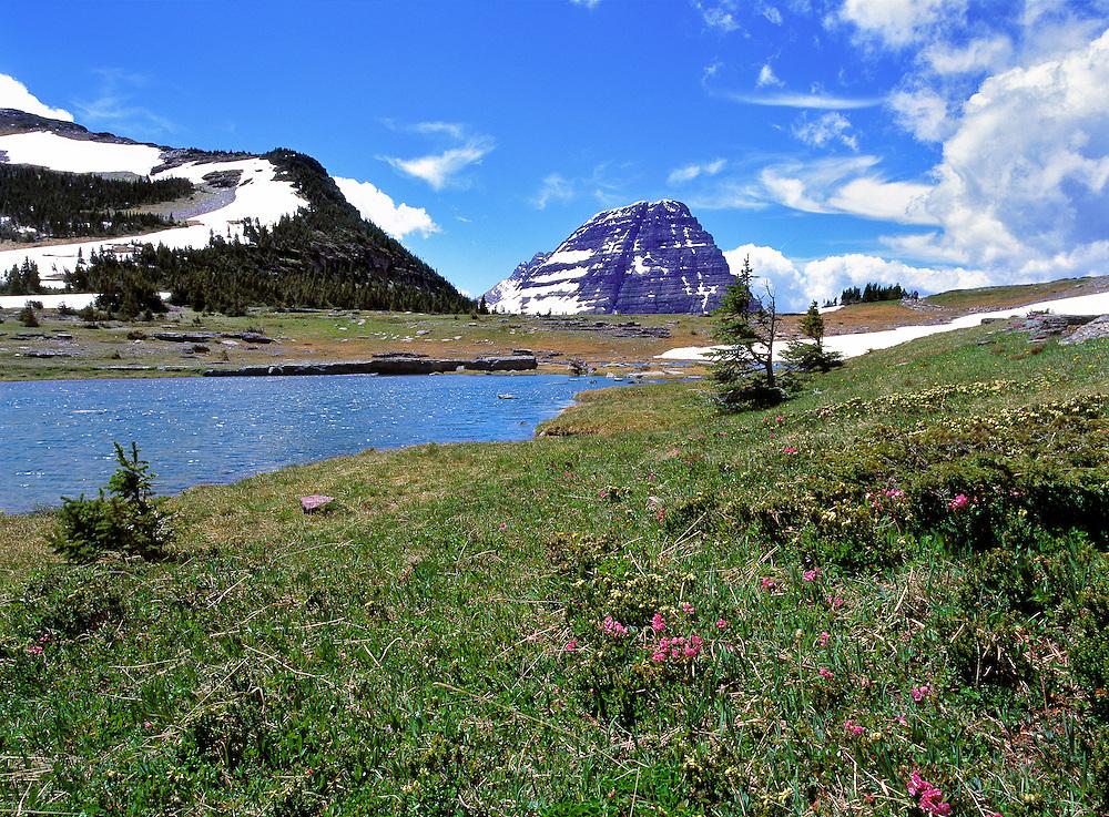 Wildflowers have a short season near Hidden Lake Trail in Glacier National Park, Montana