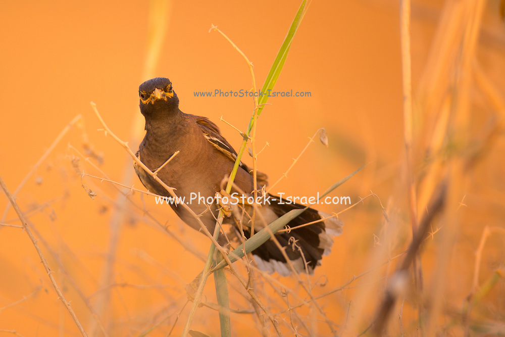 Common myna (or Indian Myna Acridotheres tristis). This bird is native to southern Asia from Afghanistan to Sri Lanka. The Myna has been introduced in many other parts of the world and its distribution range is on the increase to an extent that in 2000 the Species Survival Commission (IUCN) declared it among the World's 100 worst invasive species. and one of only three birds in this list. It is a serious threat to the ecosystems where introduced. Photographed in Israel in August
