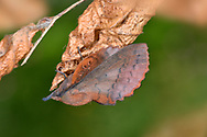 Lappet Moth - Gasteropacha quercifolia