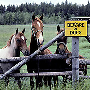 Horses, Trio gathered at gate near Beware of Dogs sign. Montana.