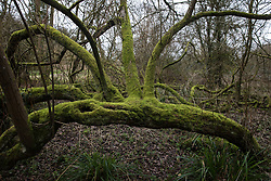 Denham, UK. 4 February, 2020. A moss-covered tree in Denham Country Park threatened with imminent destruction by the HS2 high-speed rail link. Planned works in the immediate area are believed to include the felling of 200 trees and the construction of a roadway, Bailey bridge, compounds, fencing and a parking area.