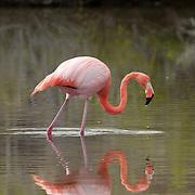 Caribbean Flamingo or Greater Flamingo (Phoenicopterus ruber) feeding in a lagoon. Bachas Beach, Santa Cruz Island, Galapagos, Ecuador