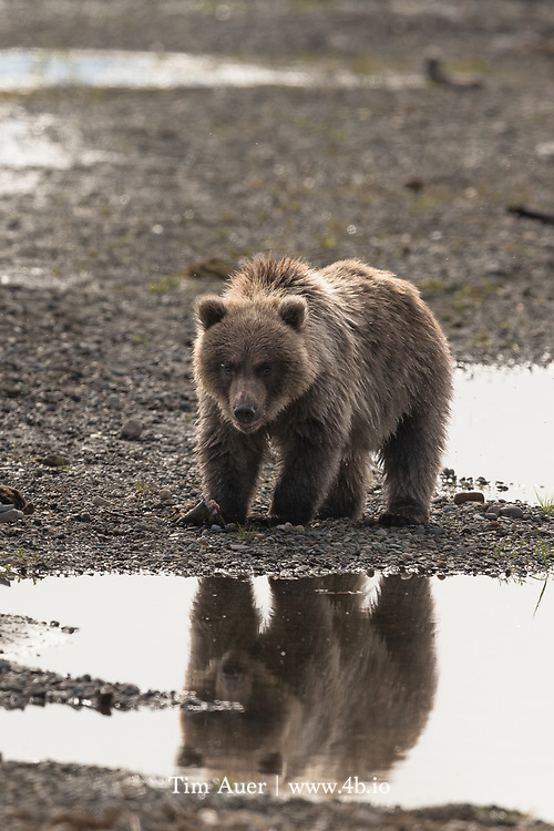 Spring cub stares back with its reflection, this young bear has ate well these months on the Alaska Peninsula.