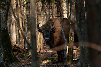 18.03.2015 Puszcza Bialowieska n/z zubr ( Bison bonasus ) fot Michal Kosc / AGENCJA WSCHOD