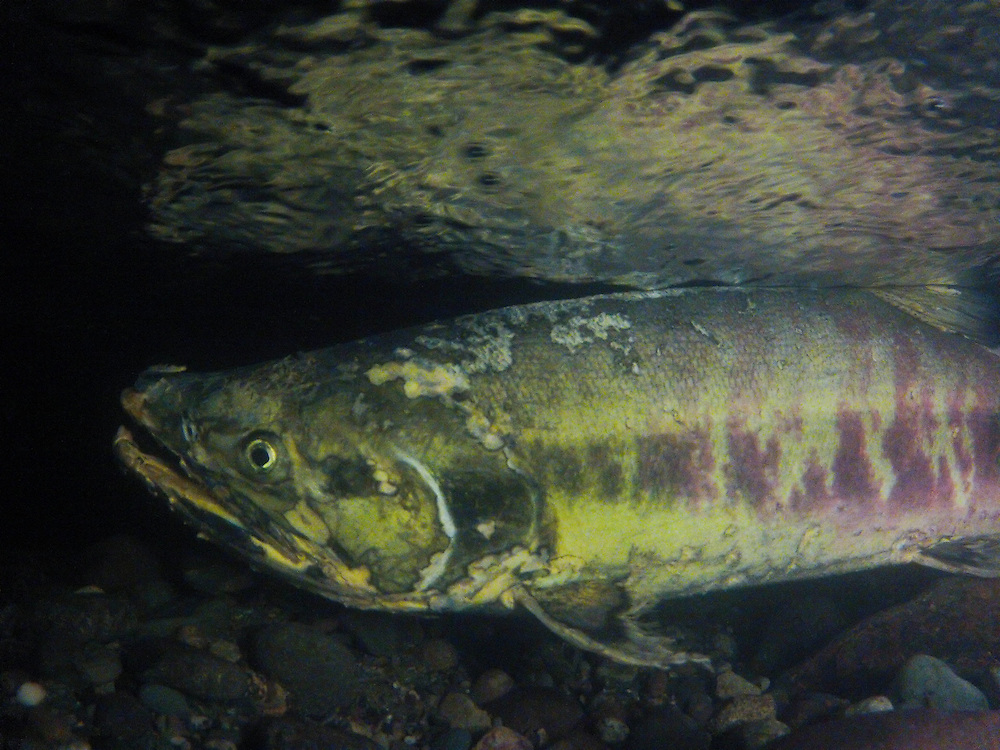 Chum salmon (Oncorhynchus keta) in Piper's Creek in Carkeek Park, Seatttle, Washington. Also know as dog salmon or keta, the fish can be viewed in Piper's Creek in early to mid November. Photo by William Drumm