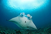 Giant manta rays (Manta birostris) at cleaning station North Raja Ampat, West Papua, Indonesia, Pacific Ocean | Riesenmanta  (Manta birostris) Raja Ampat, West Papua, Indonesien, Pazifischer Ozean