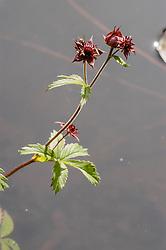 Wateraardbei, Comarum palustre