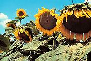 Griekenland, Peloponesos, 3-7-2008Zonnebloemen in bloei. Biologische brandstof voor de auto.Foto: Flip Franssen