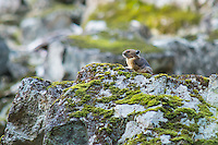An American pika stands guard over its rocky scree near Lake Mowich on Mount Rainier. Like most of these rabbit-relatives, pikas send out a loud, barking warning to let others know that a potential threat has wandered into their territory.