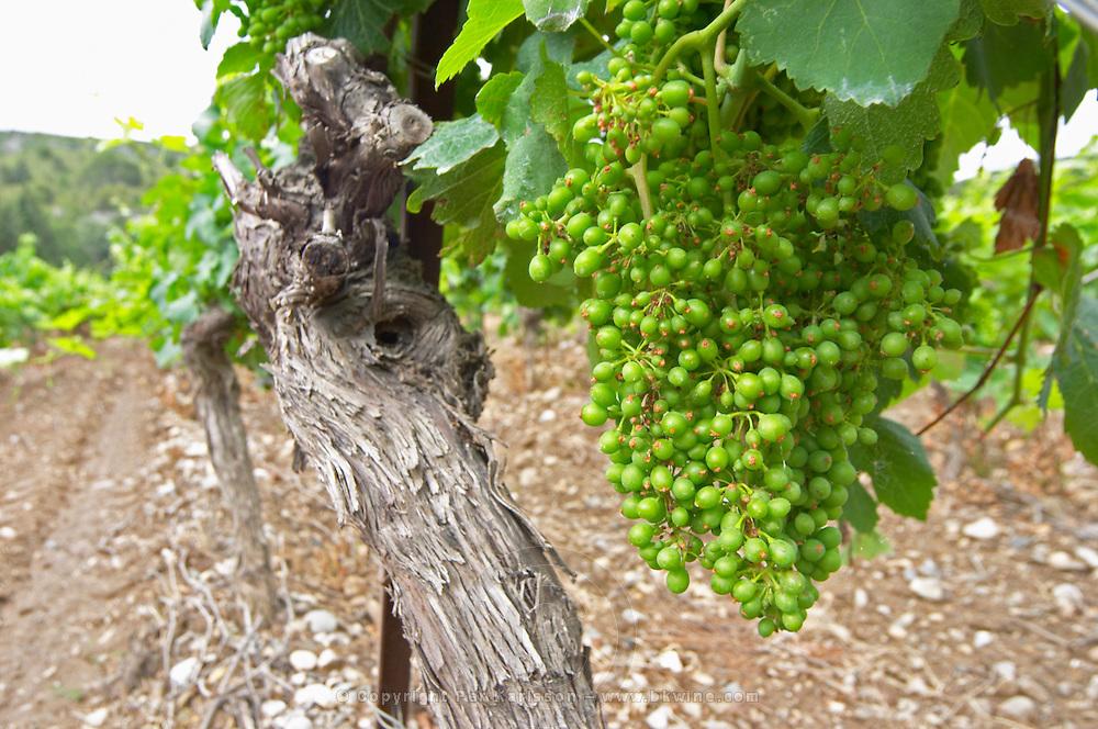 Unripe grapes. Vineyard. Syrah. Chateau de Jau, Cases de Pene, Roussillon, France