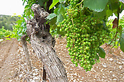 Unripe grapes. Vineyard. Syrah. Chateau de Jau, Cases de Pene, Roussillon, France