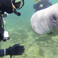 West Indian manatee (Trichechus manatus), in Three Sisters Spring, Crystal River, Florida. The manatees gather in these warm springs during the winter months to seek the thermal waters. Photo by William Drumm 2013
