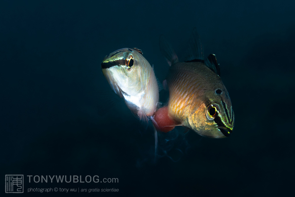 This is a pair of spotnape cardinalfishes (Ostorhinchus notatus) engaged in spawning. The female on the right has just released a clutch of eggs, and the male is fertilizing them. Wisps of the male's sperm are visible. both coming out of the male and around the eggs. After fertilization, the male moves behind the female to take the eggs into his mouth for brooding. He will care for the eggs until maturity. The gestation period varies with water temperature, but hatchout takes place after approximately two weeks. Females in this situation eventually leave the male, but they first exhibit an odd behavior after laying eggs. They appear to harass the male, chasing him and targeting the eggs in his mouth. While avoiding these charges by the female, the male spits out and takes the eggs back into his mouth multiple times. This occurs at blinding speed. The purpose of this post-coital behavior is not clear. It appears almost as if the female is attempting to steal the eggs from the male.