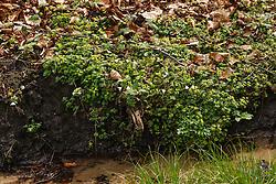 Paarbladig goudveil, Chrysosplenium oppositifolium