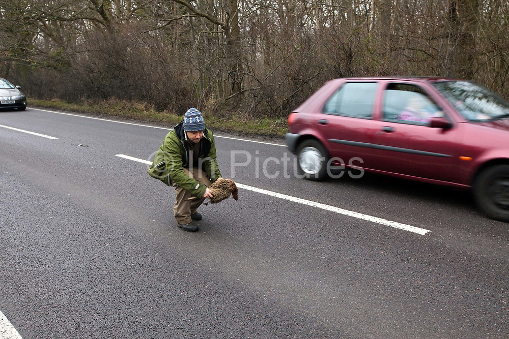 Fergus Drennan collects a pheasant on the road, killed by a car at Bishopstone near Herne Bay, Kent, UK.Fergus Drennan ,known as 'Fergus the Forager' is a chef, wild food experimentalist and educator.