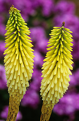 Kniphofia 'Forncett Envy'  (Provisional name - being introduced Autumn 2002 by Four Seasons Nursery)