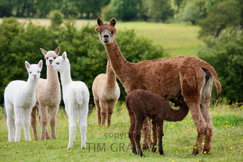 Alpacas at Town End Farm near Kendal in the Lake District National Park, Cumbria, UK