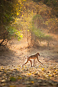 Baboon the Luangwa River Valley National Park .Zambia, Africa